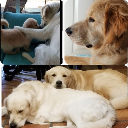 Yella Dog Goldens – Golden Retrievers